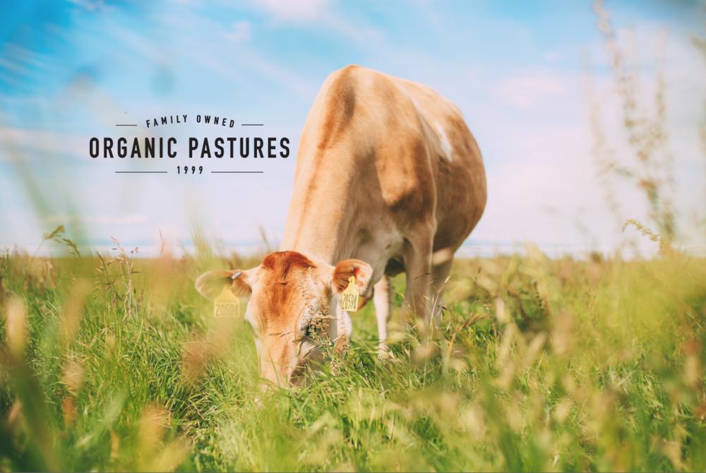 Organic Pastures Grazing Cow