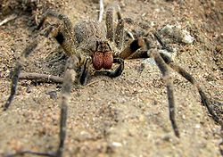 250px-Wandering_spider.jpg