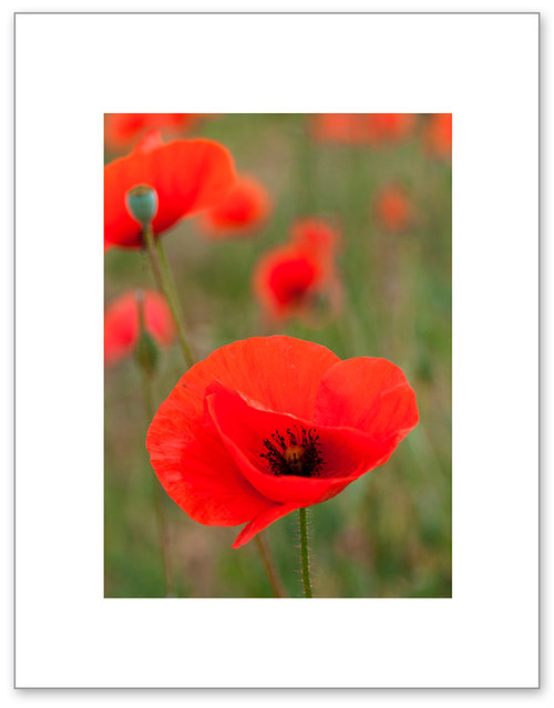 French red poppy sandra sampson simple modern style color french red poppy mightylinksfo