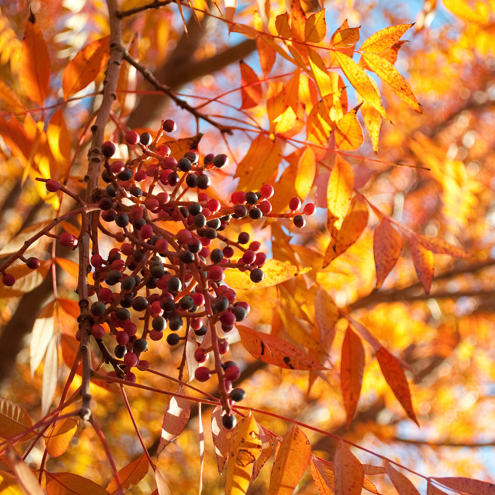 Fall_Leaves_cropped.jpg