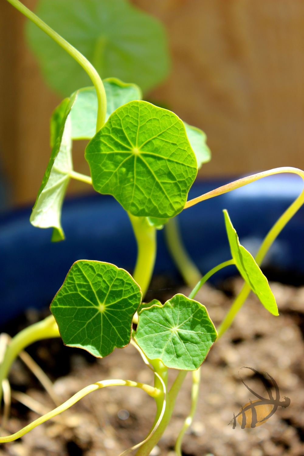 Nasturtiums are great for small spaces, edible, and repel a variety of pests.