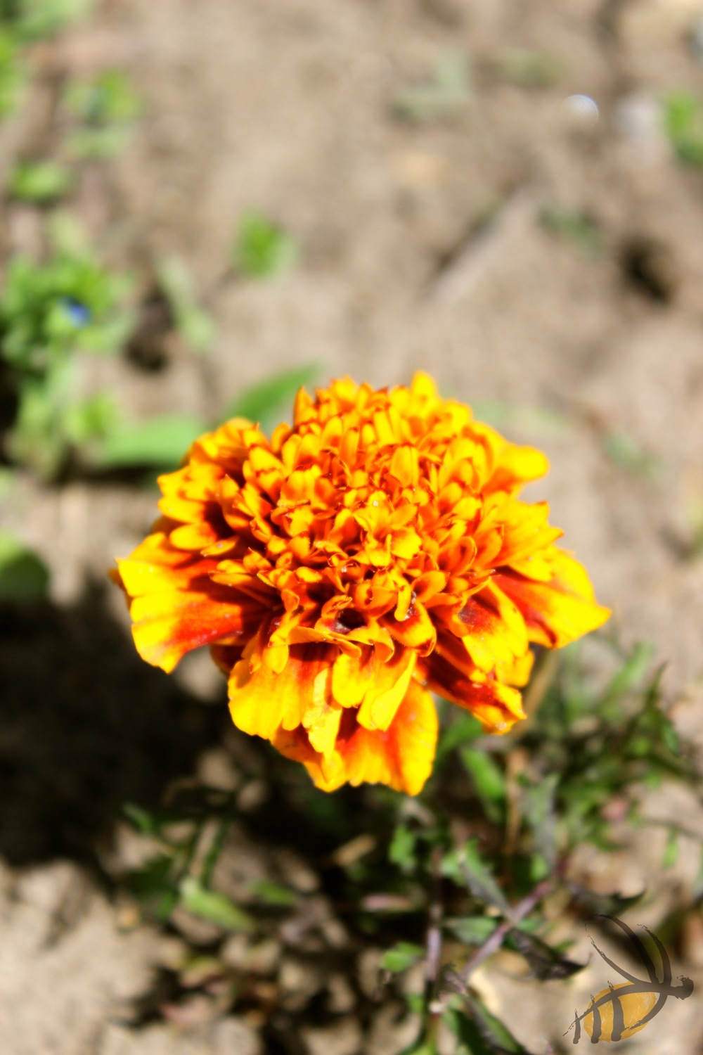 Marigolds are a well-known pest repellent and bring colour to your garden.