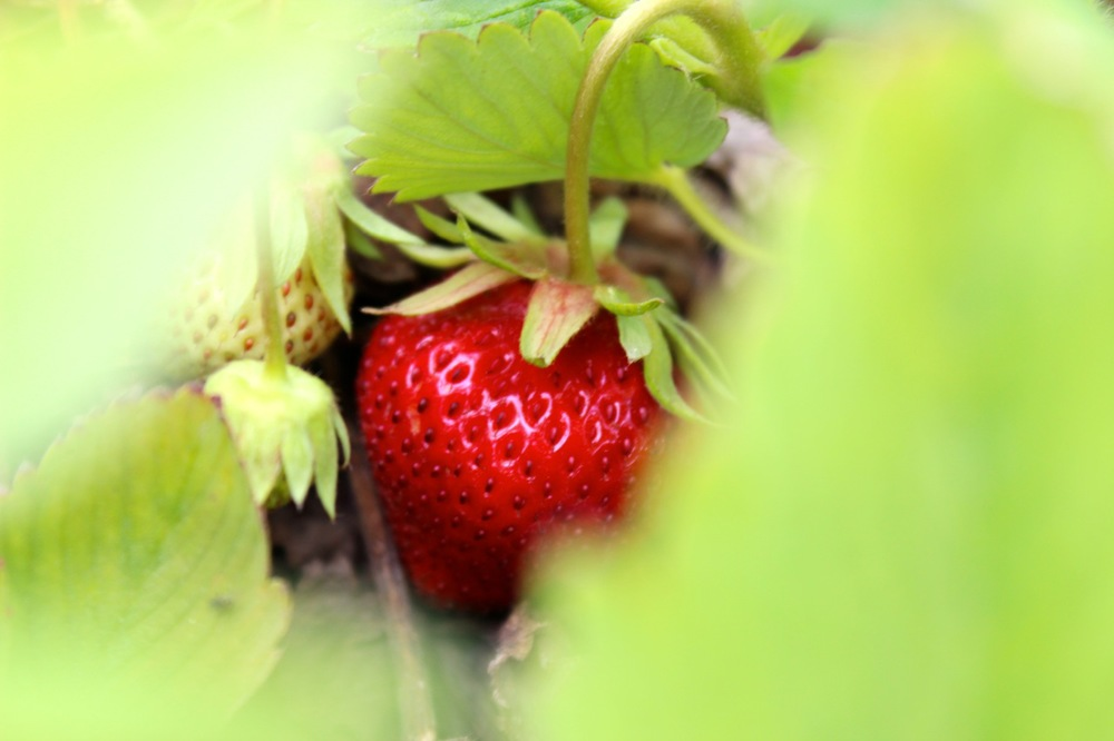 One of the first ripe strawberries in our Garden