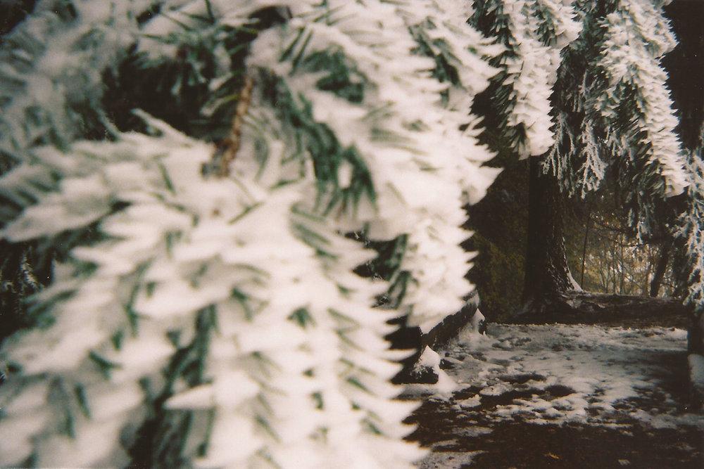 Snow piled up on Pine tree needles