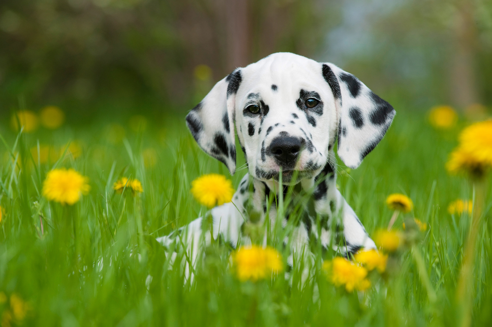 Dalmation pup.jpg
