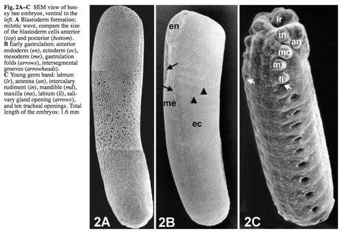 the hox genes essay Hox genes are regulators of animal embryonic development changes in the  number and sequence of hox genes as well as in their expression.