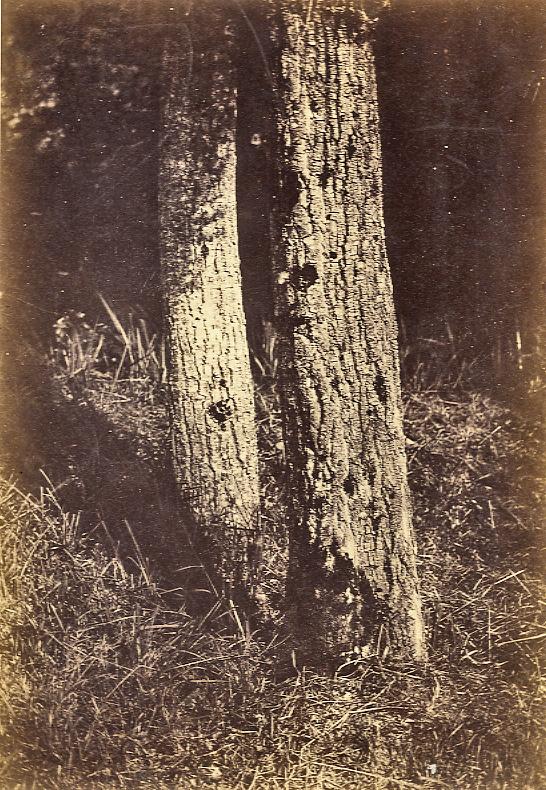 5553 famin trees.jpg