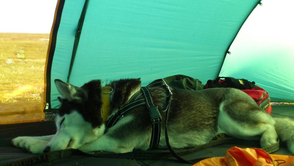 Även Taiga tar en tupplur i tältet i bland