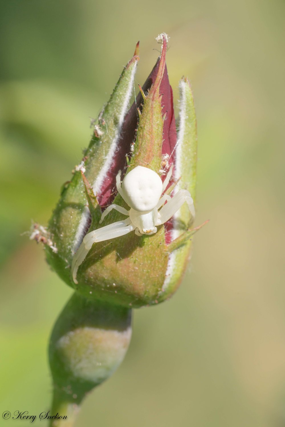 Crab Spider on Bud