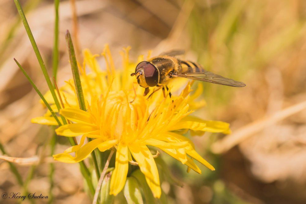Hoverfly on a Dandelion