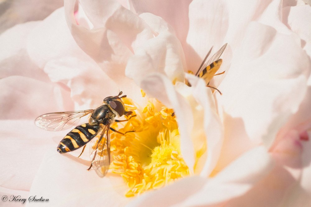 Hoverflies on Pink Rose