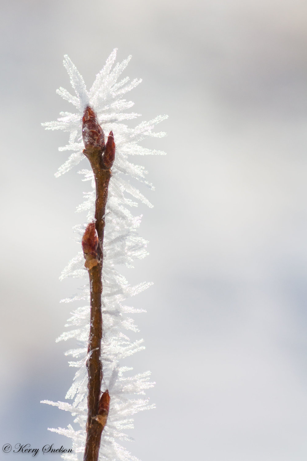 Hoar Frost on Budding Twig