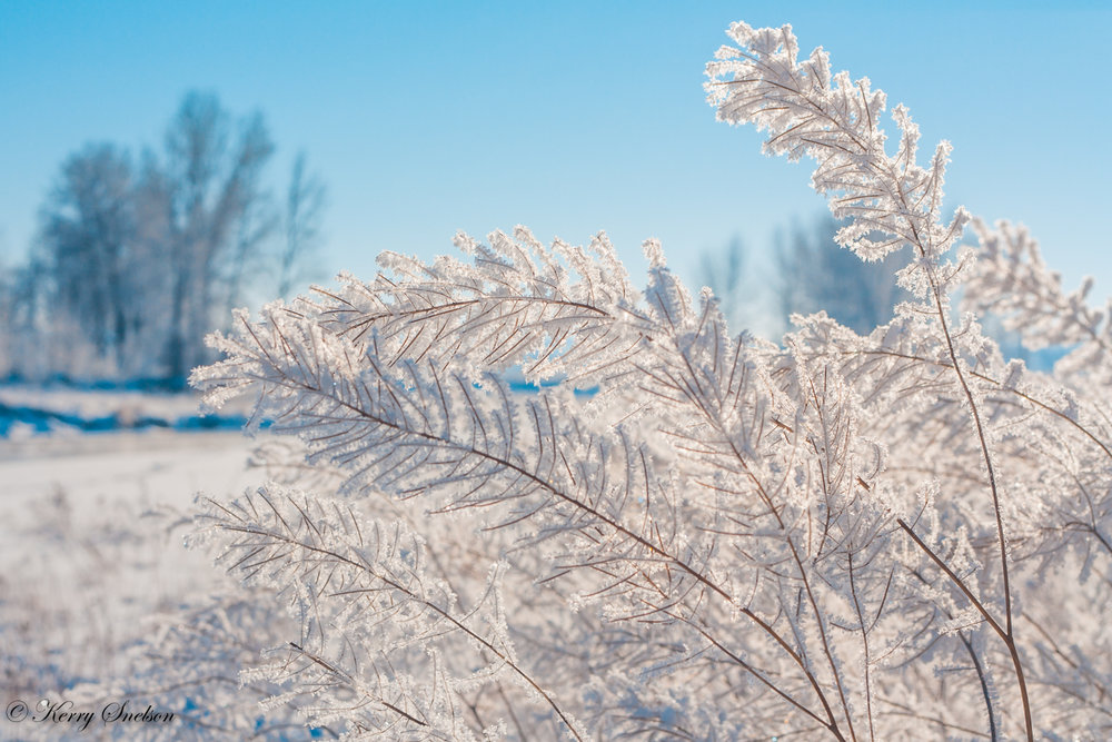 Delicate Hoar Frost on Foliage