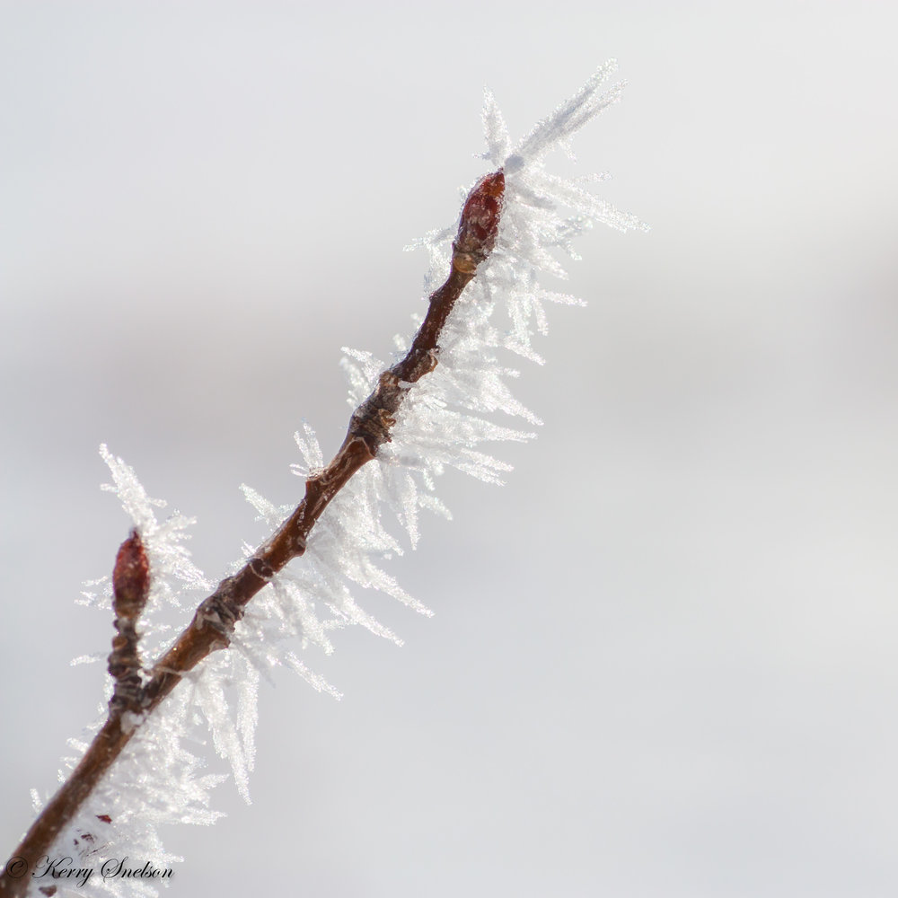 Budded Twig Covered in Hoar Frost