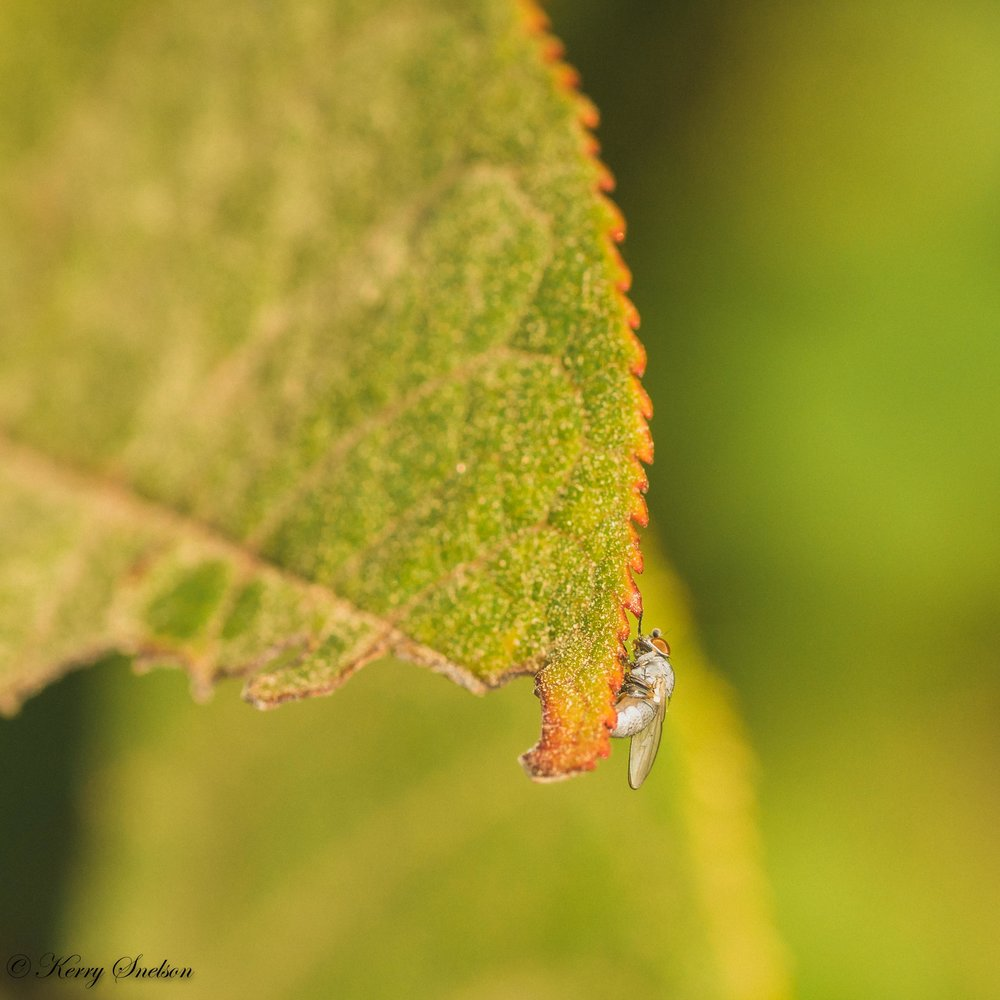 Light Grey Fly on Leaf Edge