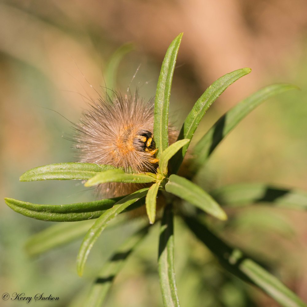 Salt Marsh Moth Caterpillar