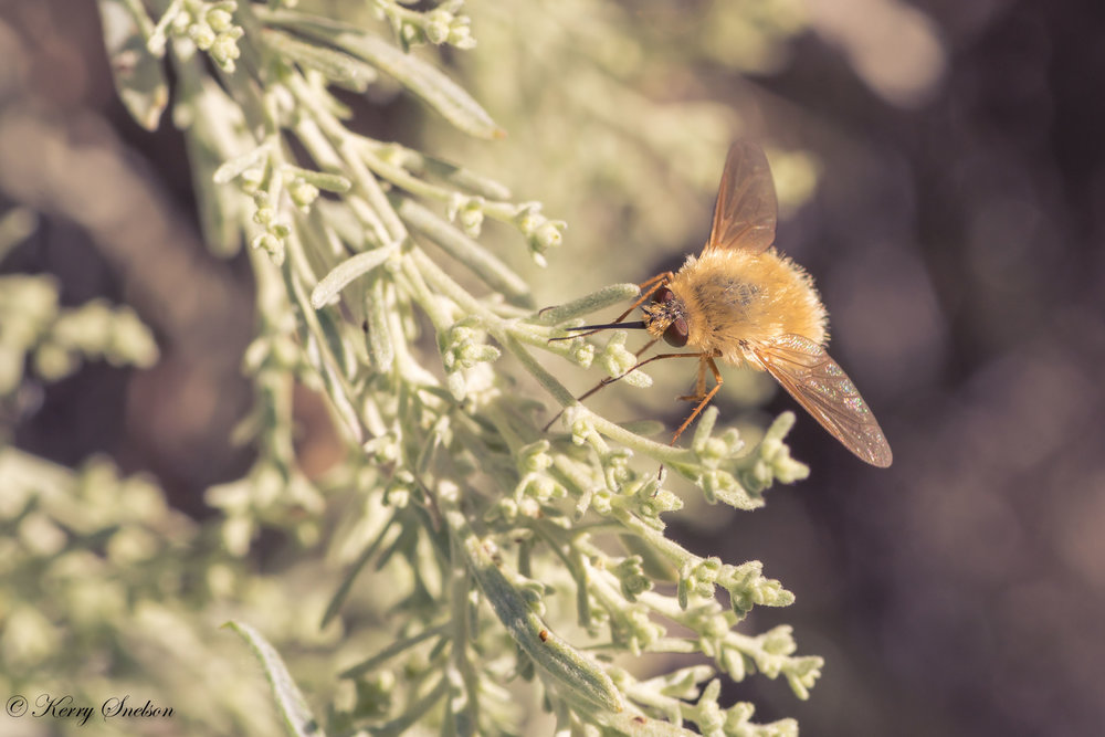 Bee Fly on Foliage