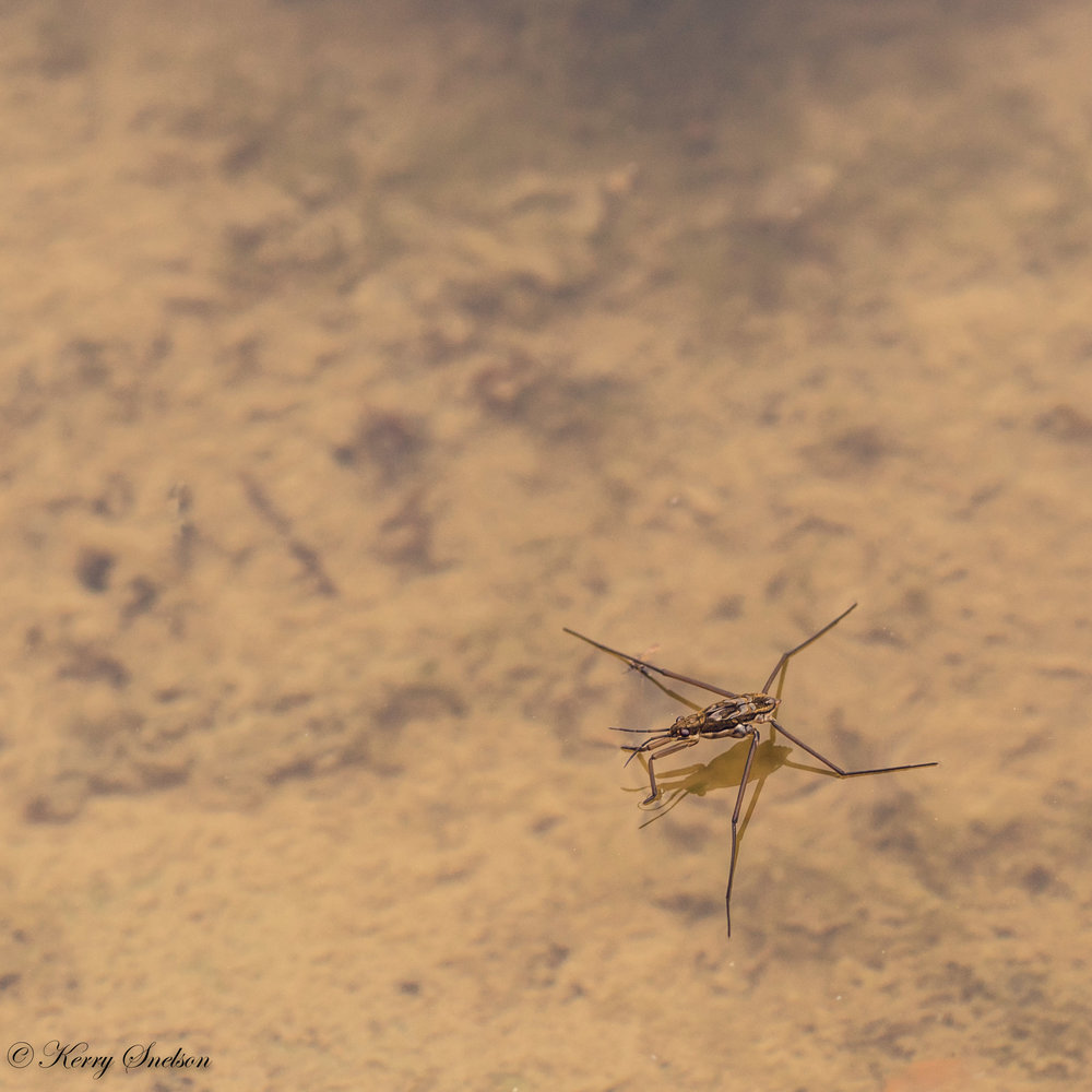 Water Strider on Pond