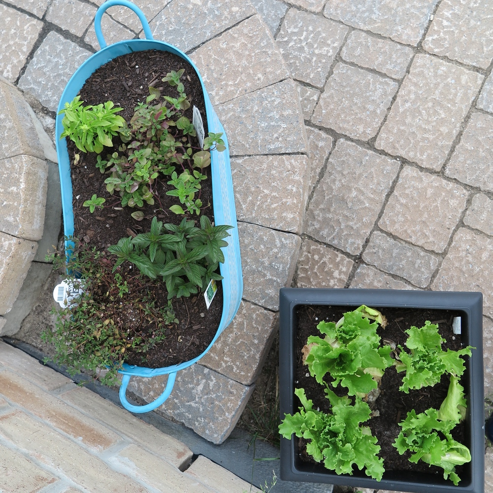 Herbs & salad greens going strong
