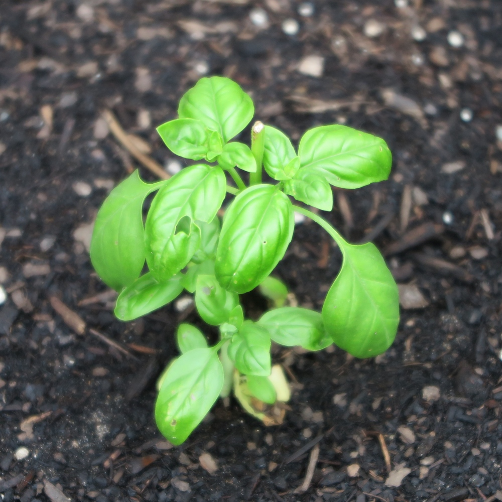 EDP lopped the top off this poor basil plant