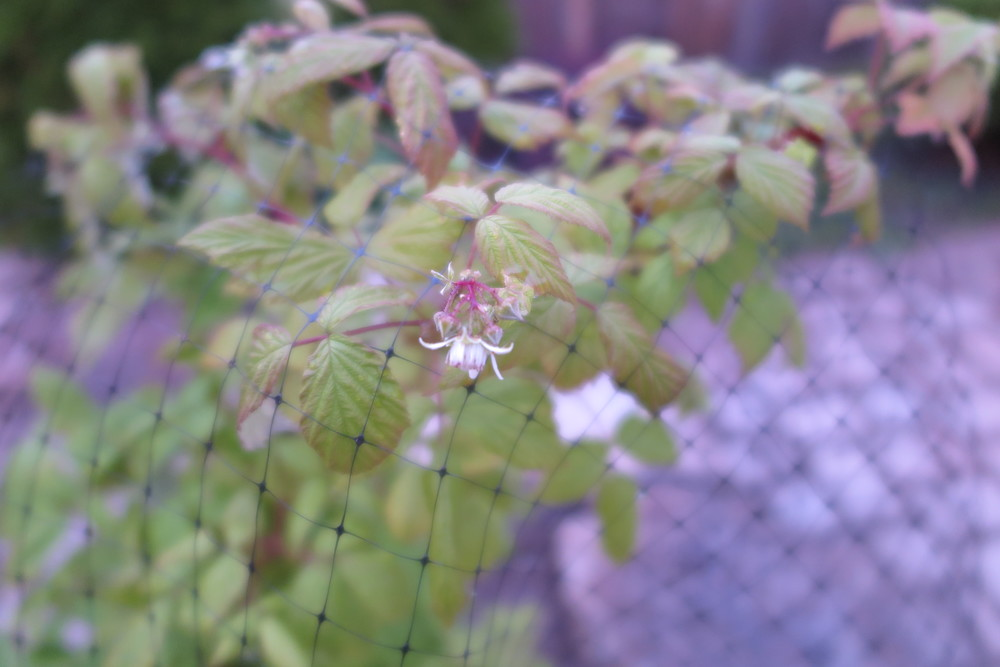 Raspberries have a blossom - must finish netting the raspberry bush