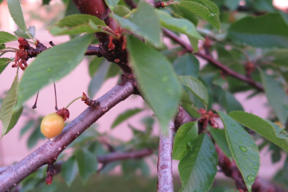 That cherry is starting to ripen