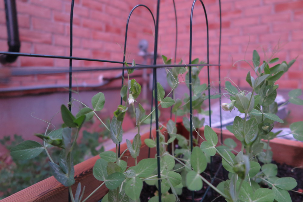 The peas are flowering