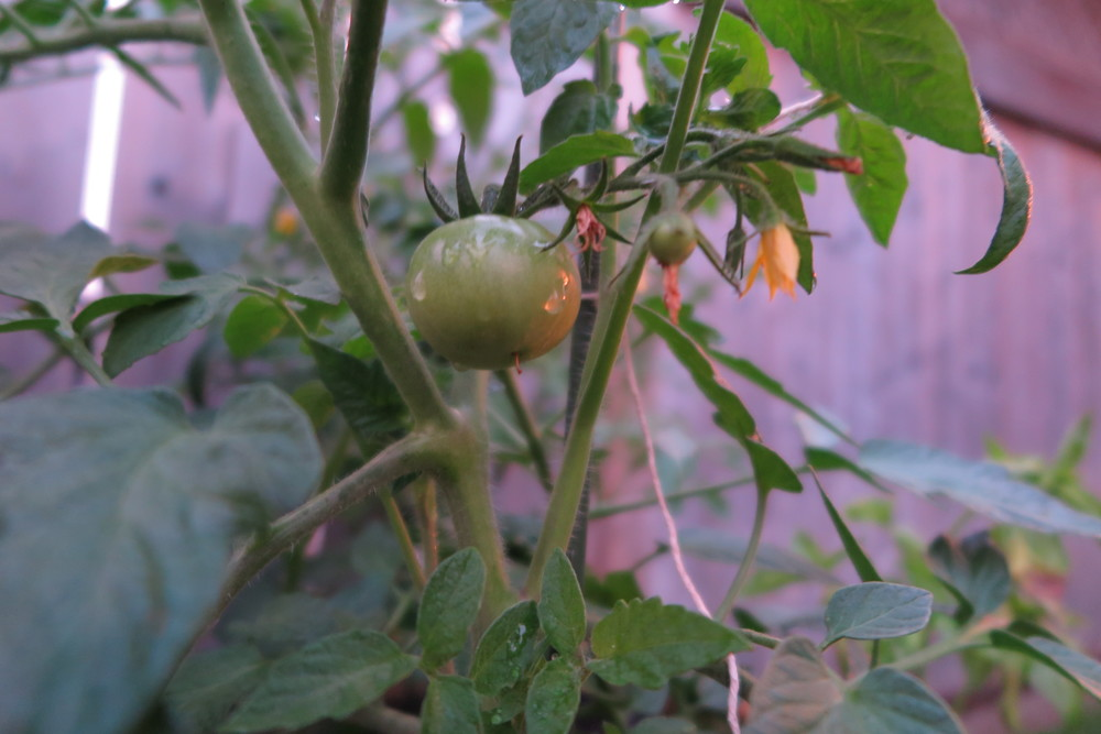 That first tomato is getting bigger