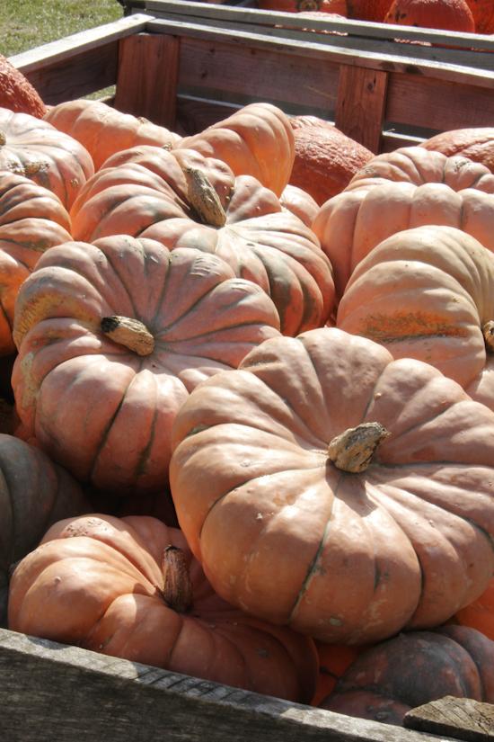 pumpkinfarm-3