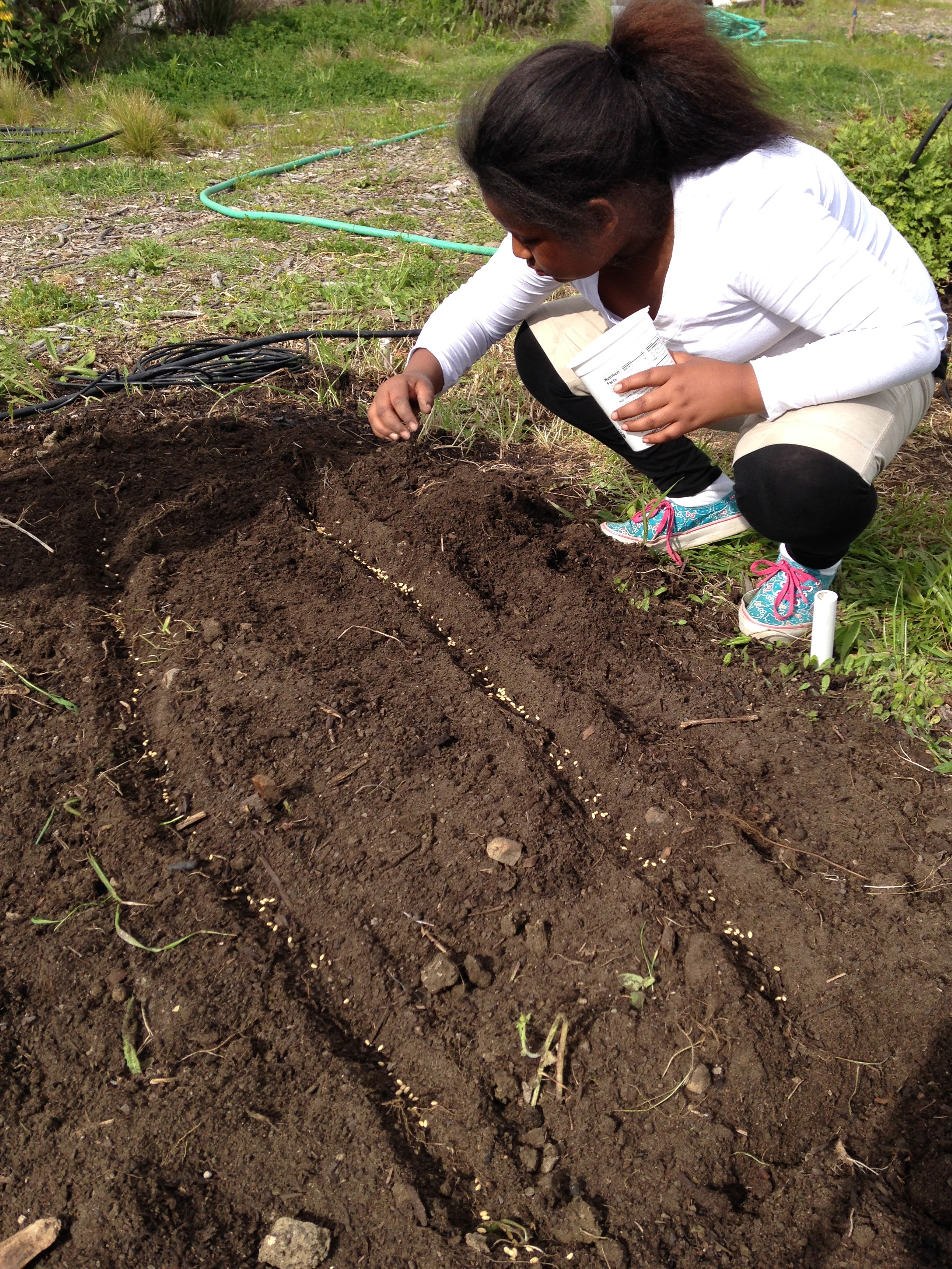 Planting Wheat for the first time at Bayside/MLK Academy in Marin ...