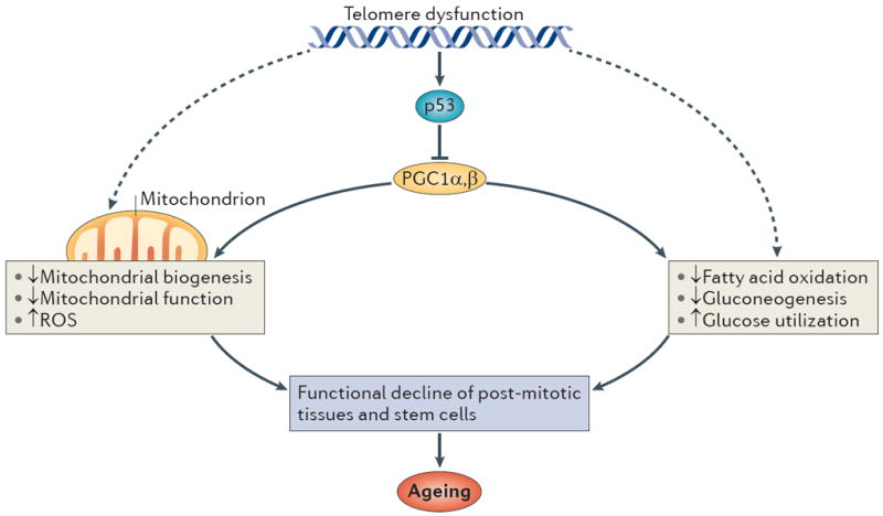 Telomere–p53–PGC pathway (Source: Sahin E, DePinho RA. Axis of ageing: telomeres, p53 and mitochondria. Nature reviews Molecular cell biology. 2012;13(6):397-404. doi:10.1038/nrm3352.)