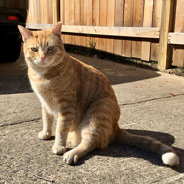 Name: Toast A/S/L: young unknown/ M/ Falls Church Weight: 20+ lb XXL  Toast's family left the country and left him on my block. He's the ***NICEST*** cat ever, he loves everything and everyone & needs a forever home.  Let me know in your or anyone you know are interested. #catadoption #adoptacat #rescuecat #fallschurch #tabbycat