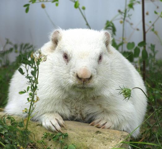 The majestic groundhog, Wiarton Willie