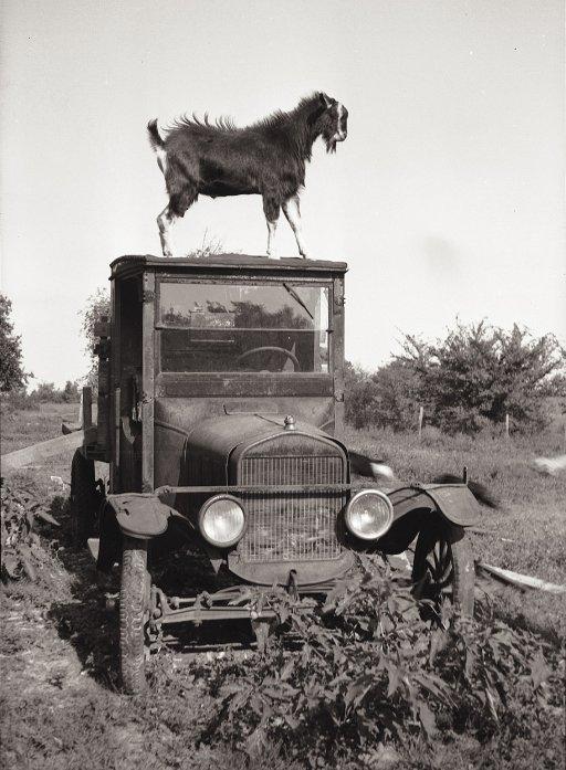 goat-on-truck.jpg