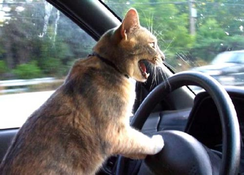cat-angry-car.jpg