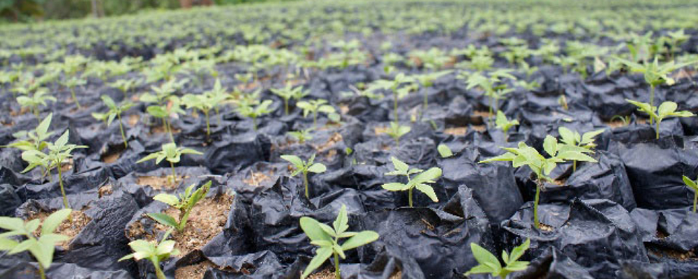 Seedlings being cultivated in our nursery.