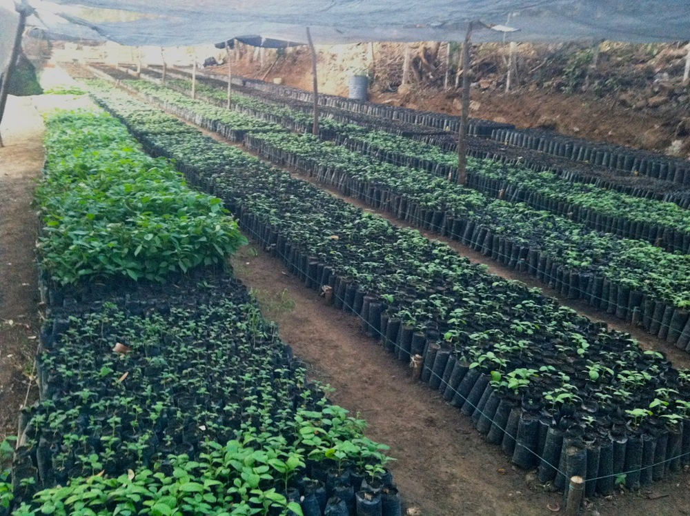 Mixed species tree saplings being cultivated at our nursery in southern Nicaragua.