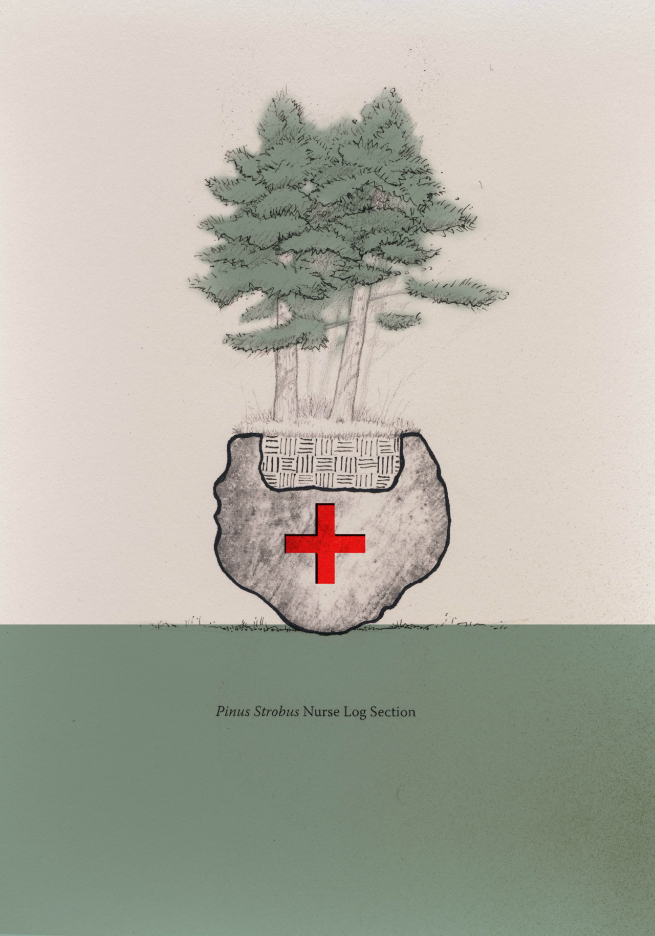 "Pinus Strobus Nurse Log No. 2 Graphite, colored pencil and carbon print on textured paper, photoshop color 8.5 x 11"" Concept drawing for an artful ""scientistic"" research installation intended to record the health of the  helmlock (Tsuga canadensis) species throughout New England in the midst of global warming and the spread of the invasive wholly adelgid."