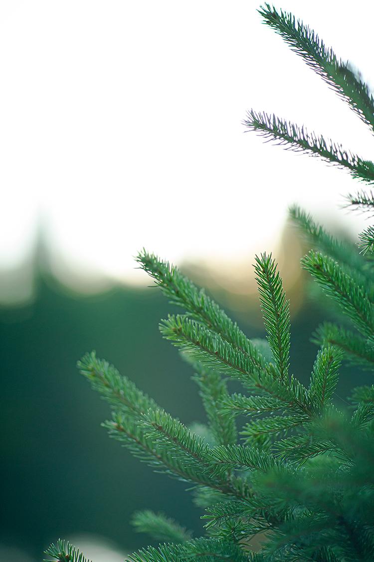 blue spruce(WEB).jpg