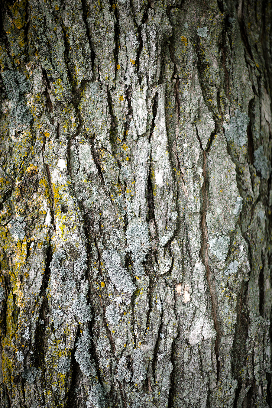 maple bark(WEB).jpg