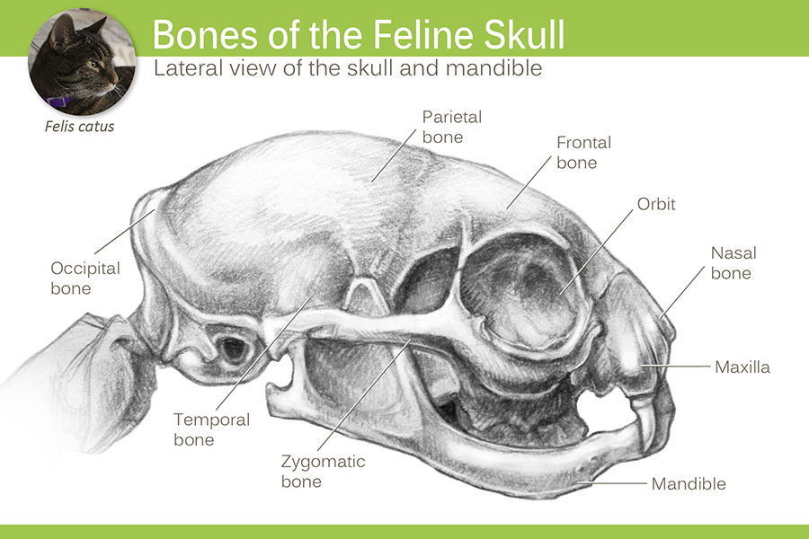 bones of the feline skull catherine stanley rh stanleyillustration com Cat Skeleton Diagram Dog Skull Diagram