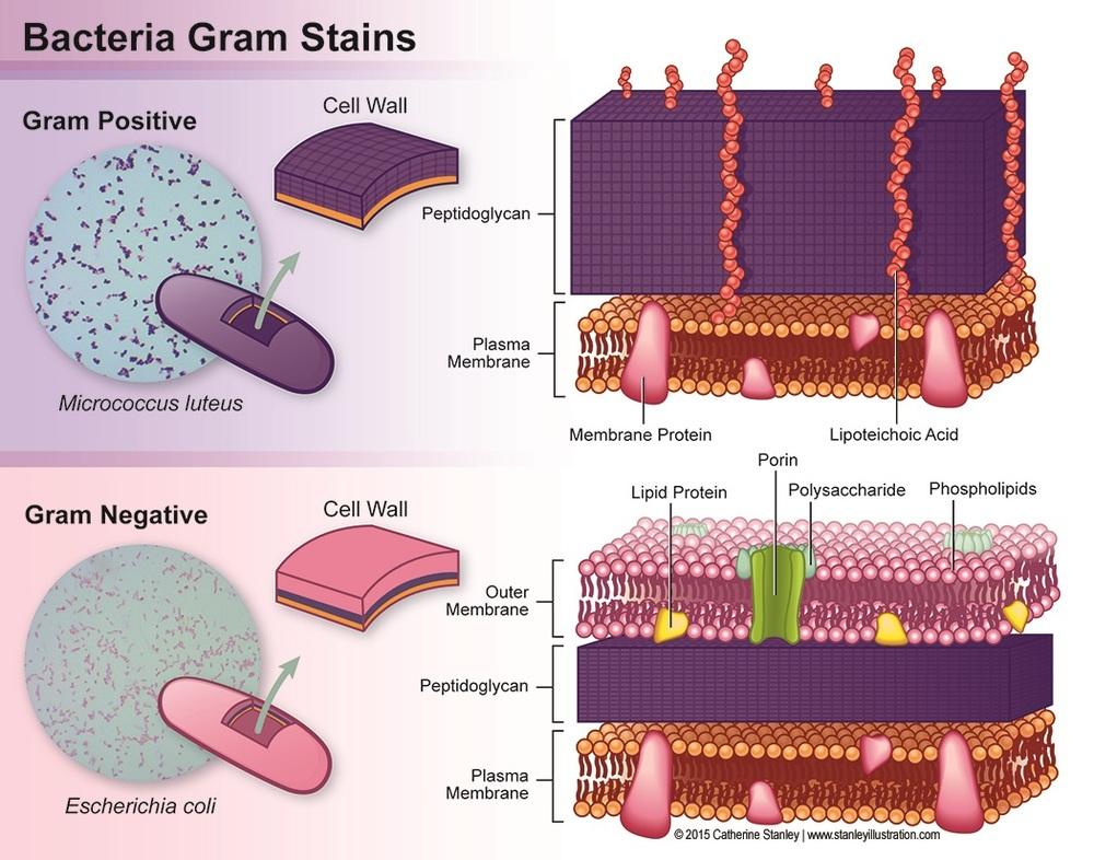 Gram Positive vs Gram Negative Bacteria Stains
