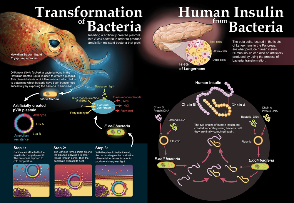 Bacterial Transformation  Two-page magazine spread illustrating the process of bacterial transformation at the molecular level. The graphic also features information on how this process is applied to human insulin production.