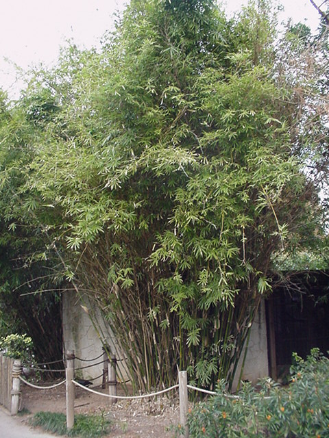 Green Hedge Bamboo