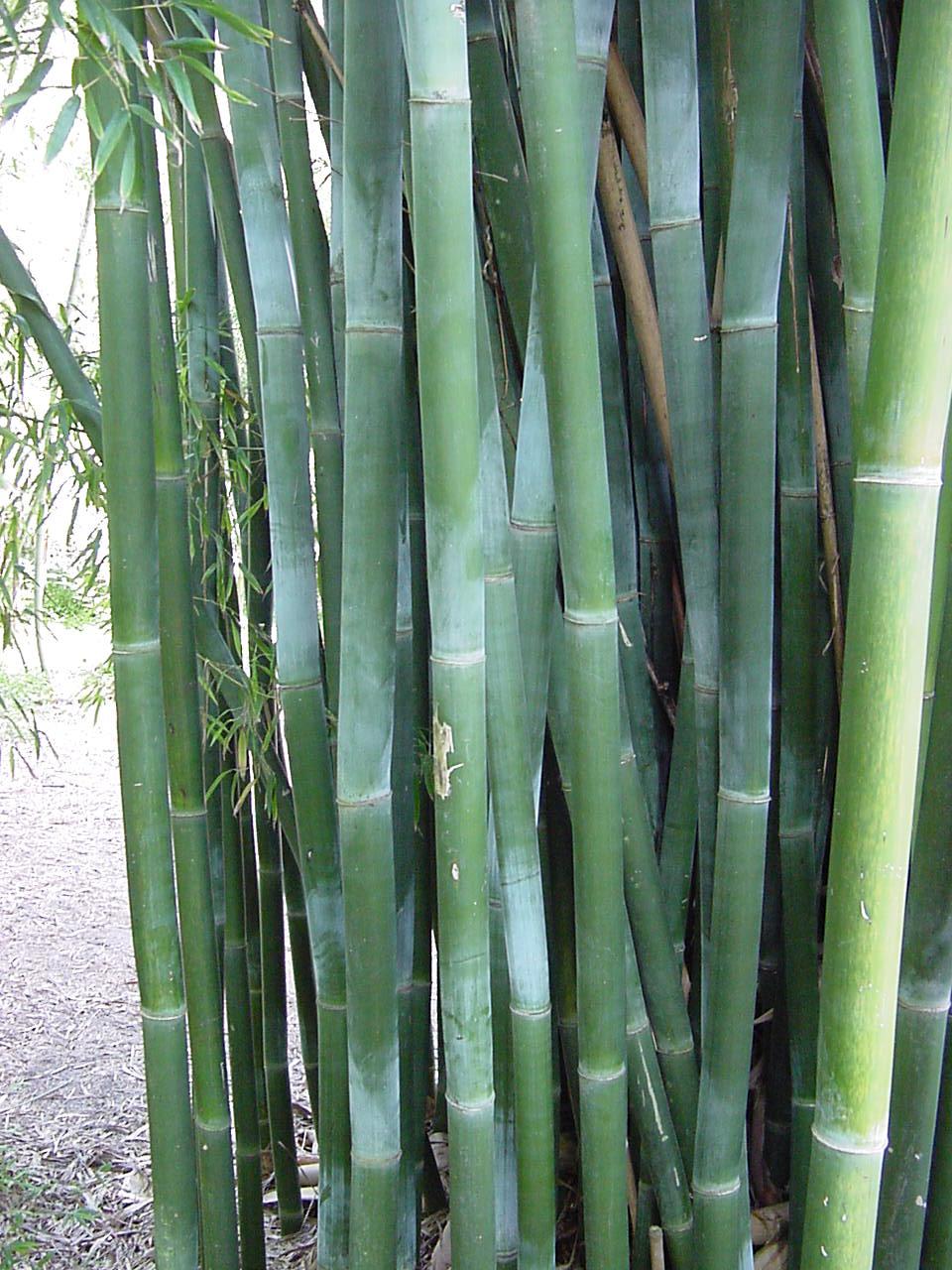 Bambusa textilis kanapaha
