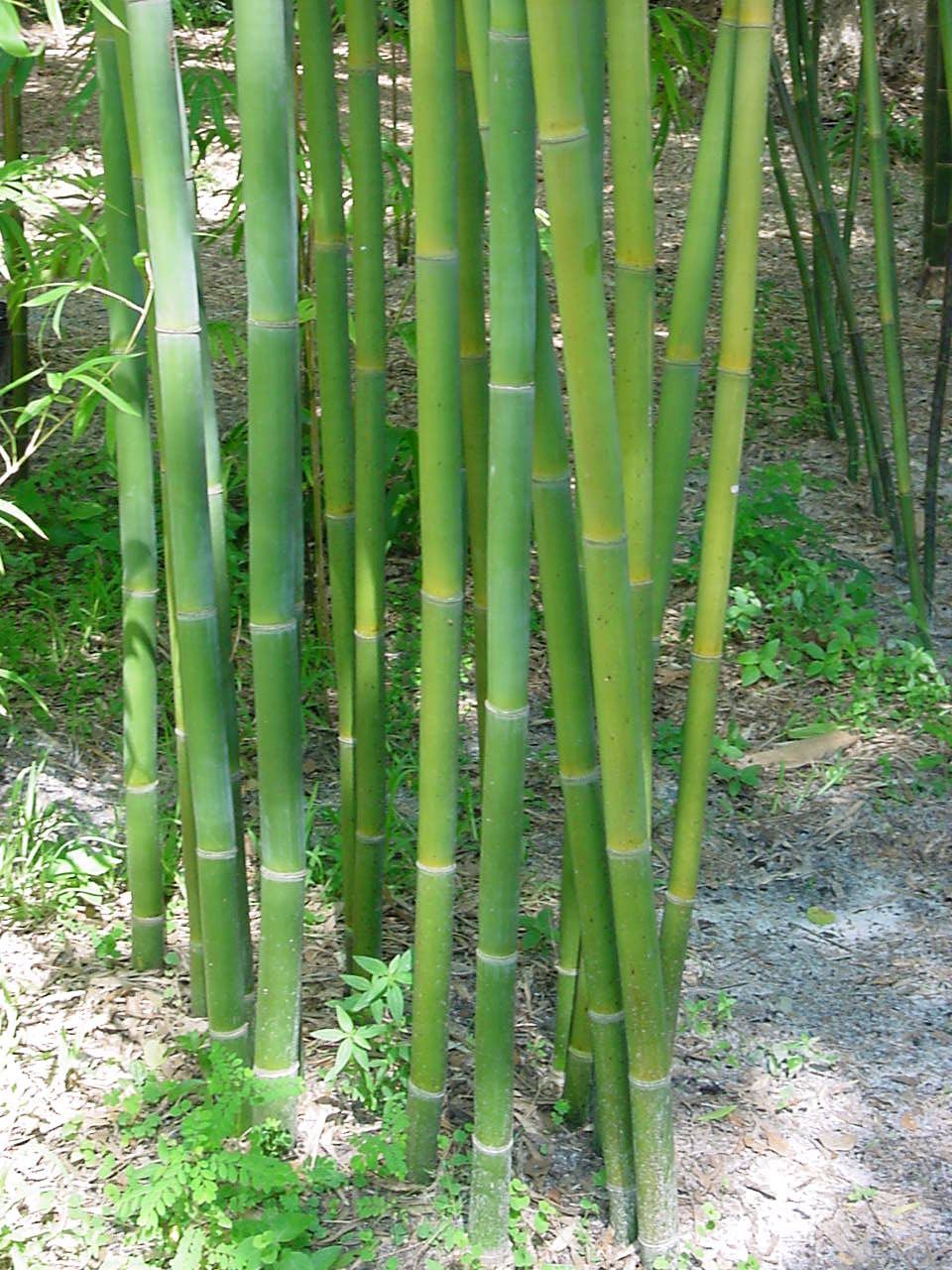 Bambusa textilis 'mutabilis'
