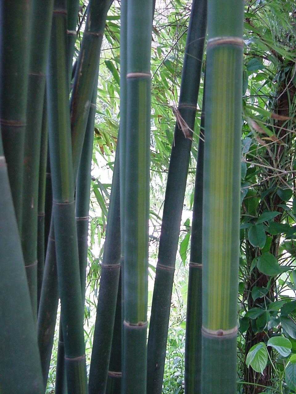 Bambusa emeinsis viridiflavus