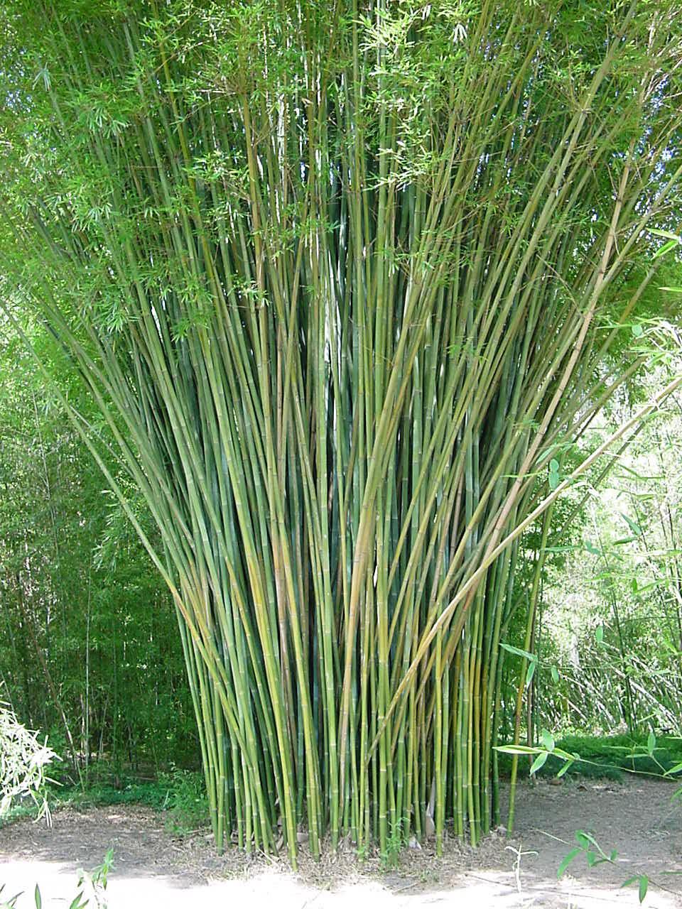 Giant Weaver S Bamboo Bambootexas Com