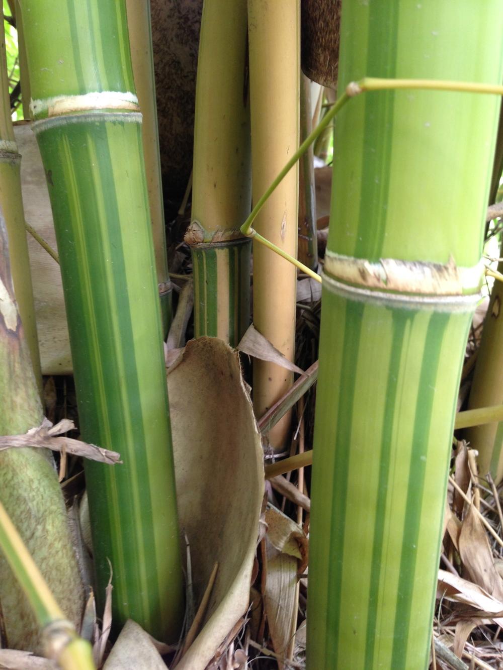 Bambusa emiensis flavidorivens