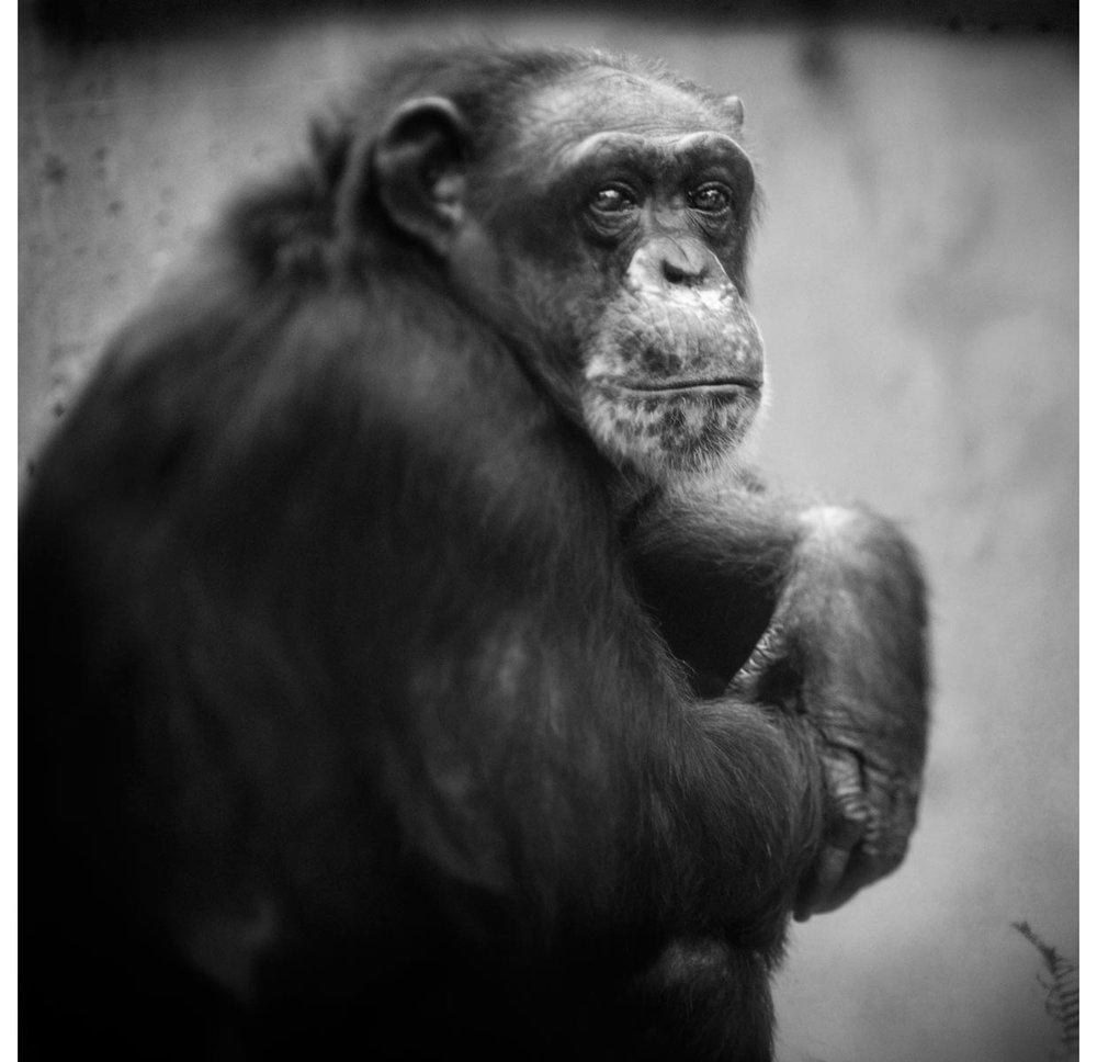 krefeld-chimp-copy.jpg